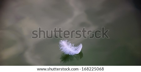 White swan plumelet on calm water and its reflection. Selective focus on right side of the feather. - stock photo