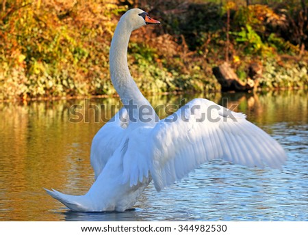 White swan spreading it's wings. - stock photo