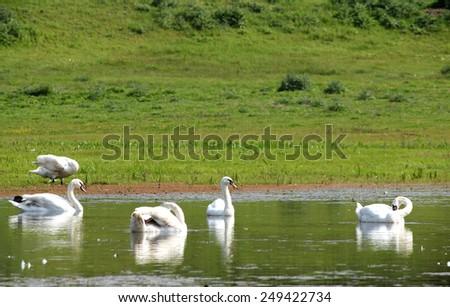 white swan swimming on river - stock photo