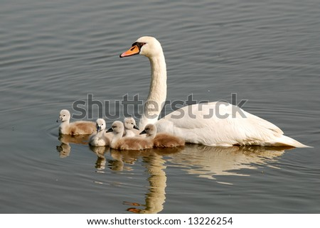 White swan with five chicks - stock photo