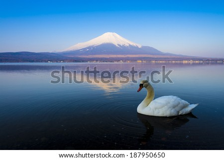 White swan with the reflection of MT Fuji on the background - stock photo