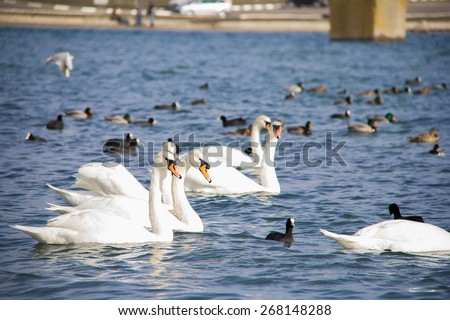 White swans and ducks on a sea - stock photo