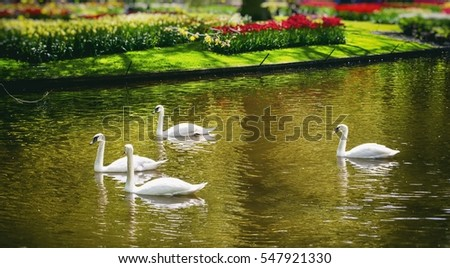 White Swans at River in Tulip Garden