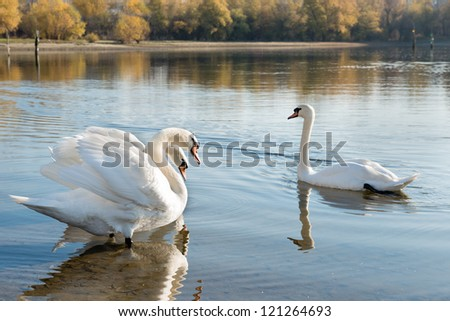 white swans floating on the water