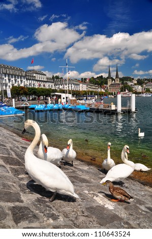 White Swans in Luzern, Switzerland
