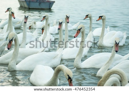 white swans in the river