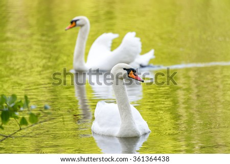 White swans on green lake water reflecting the foliage in sunny day, swans on pond - stock photo