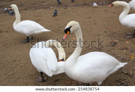 White swans standing on sand background - stock photo