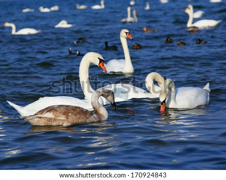 White swans swimming in the sea