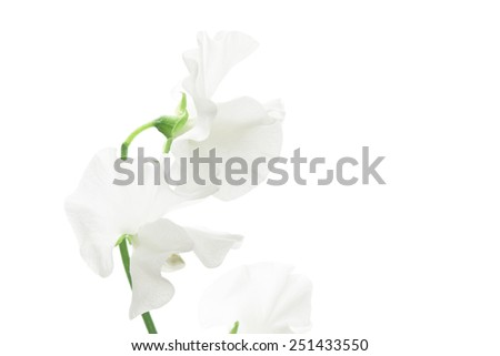 White sweet pea isolated on white background  - stock photo