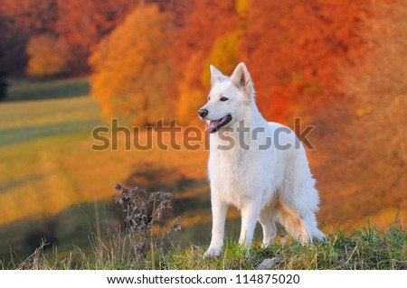 White Swiss Shepherd Dog in autumn - stock photo