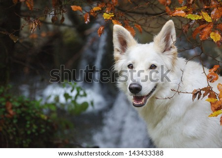 White Swiss Shepherd Dog in autumn in front of waterfall - stock photo