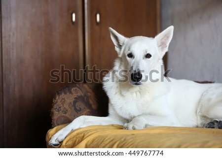 White Swiss shepherd dog portrait - stock photo