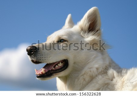 White Swiss Shepherd Dog portrait in the wind