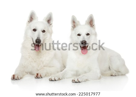 White Swiss Shepherd dogs together lying on white background