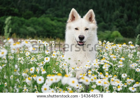 White Swiss Shepherd in chamomile - stock photo