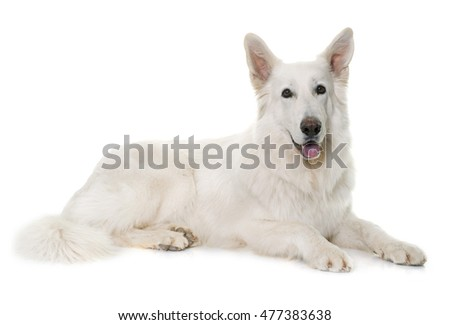white swiss shepherd in front of white background