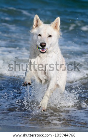 White Swiss Shepherd on the beach in the holiday - stock photo