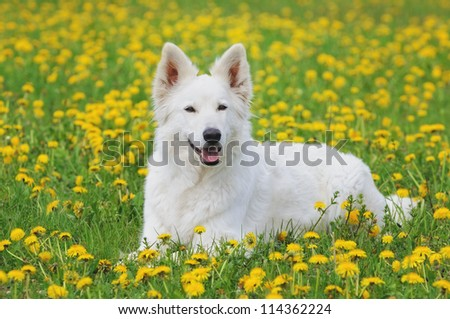 White Swiss Shepherd portrait in dandelion