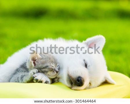 White Swiss Shepherd`s puppy and small kitten sleeping together - stock photo