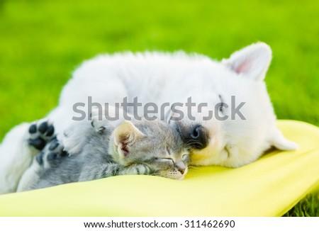 White Swiss Shepherd`s puppy and small kitten sleeping together - stock photo