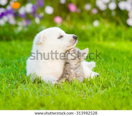 White Swiss Shepherd`s puppy lying with kitten on green grass - stock photo