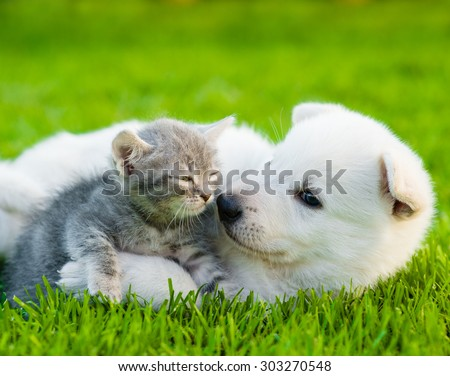 White Swiss Shepherd`s puppy playing with tiny kitten on green grass - stock photo