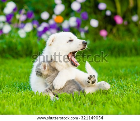 White Swiss Shepherd`s puppy playing with tiny kitten on green grass - stock photo