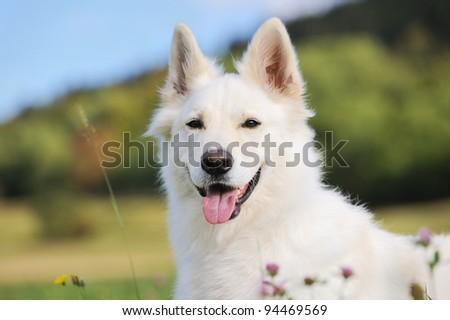 White Swiss Shepherd sits in meadow - stock photo