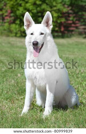 White Swiss Shepherd sitting on the grass - stock photo