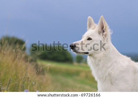 White Swiss Shepherd stands in meadow and observes tensely the surroundings Weisser Schweizer Schäferhund  Berger Blanc Suisse