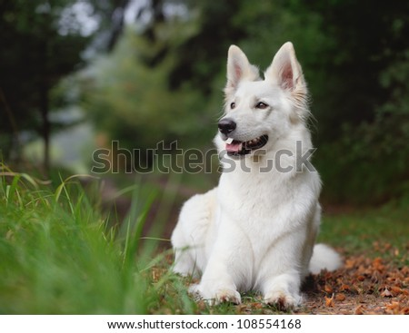 White Swiss Shepherd White German Shepherd - stock photo