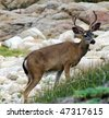 White Tail Buck - stock photo
