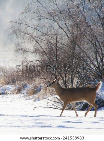 White Tail Deer Crossing the Frozen River