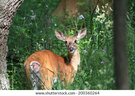 White-tail Deer Doe - stock photo