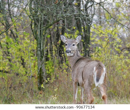 White Tail Deer doe on alert