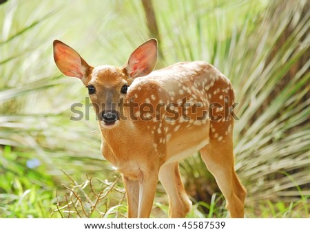 White tail fawn is alert and staring at the camera with backlight through large ears and soft focus on foliage in background. - stock photo