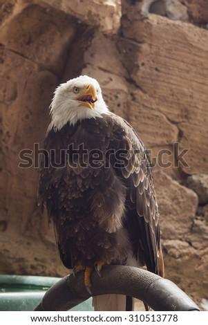white-tailed american eagle - stock photo