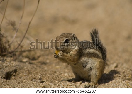 White-tailed Antelope Squirrel eating flowers in Joshua Tree National Park - stock photo