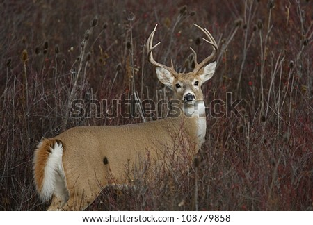 White tailed buck deer in a snowberry patch - stock photo
