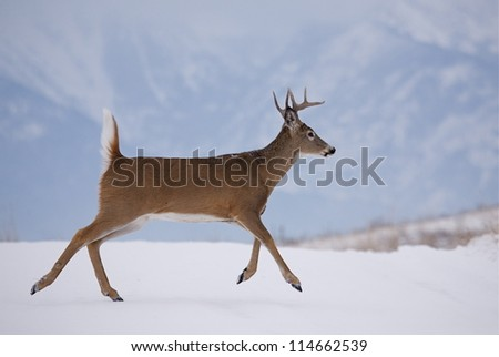 White-tailed Buck Deer running in winter snow; Whitetail deer hunting on an indian reservation in Montana; white tail / whitetailed / white-tail / white tailed