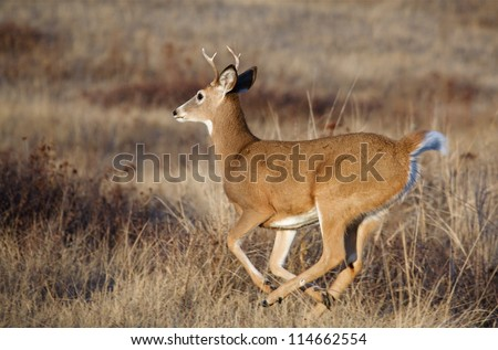 White-tailed Buck Deer running; Whitetail deer hunting the midwest / midwestern; white tail / whitetailed / white-tail / white tailed - stock photo