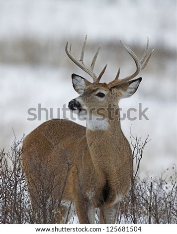 White-tailed Buck Deer Stag in winter snow, Adirondack Mountains, New York deer hunting whitetail / white tail / whitetailed / white tailed - stock photo