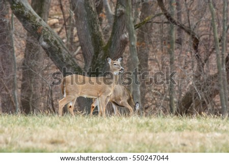 White-tailed deer at the edge of a forest.
