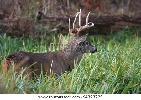 White-tailed Deer Buck - stock photo