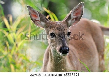 White Tailed Deer Doe standing in green grass