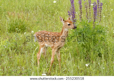 White-tailed Deer Fawn in Front of Purple Lupines - stock photo