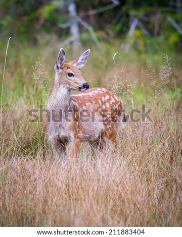White-tailed Deer Fawn in meadow in Mt. Rainier National Park - stock photo
