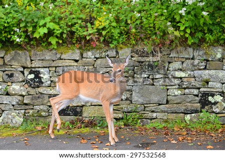 White tailed deer fawn in Shenandoah National Park - Virginia, USA  - stock photo