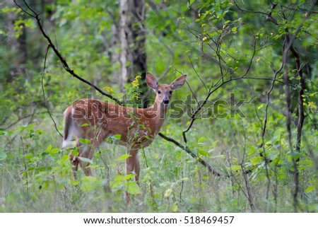 White-tailed deer fawn in the forest